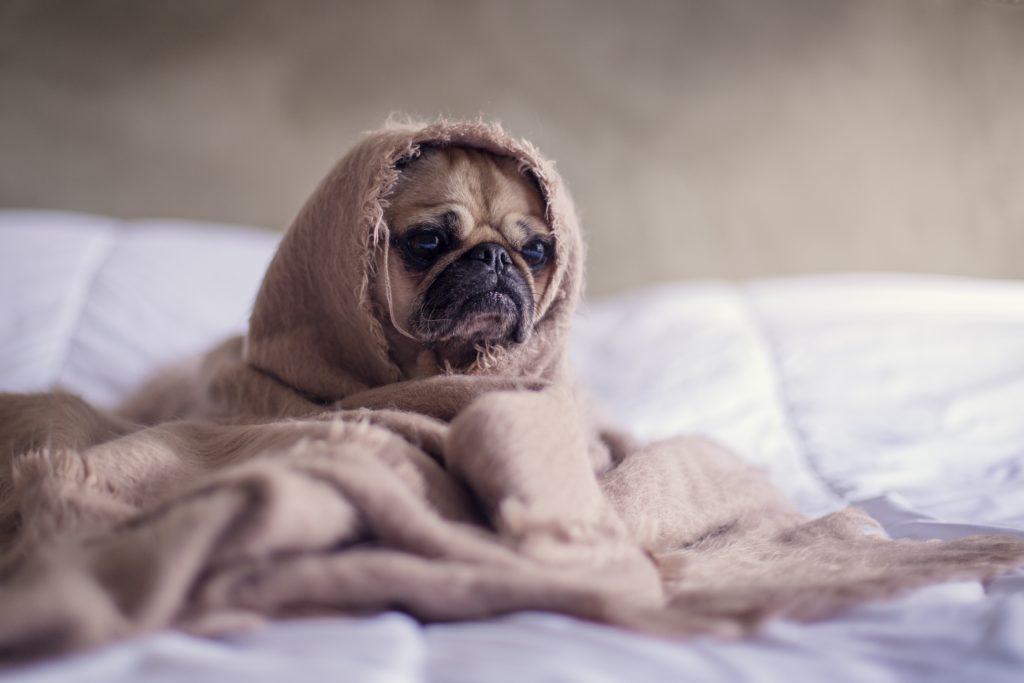 ベッドの上でくるまっているかわいい犬